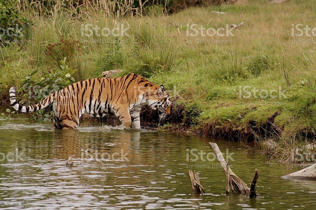 tiger bathing royalty-free stock photo