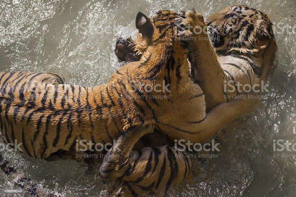 Tiger battle royalty-free stock photo