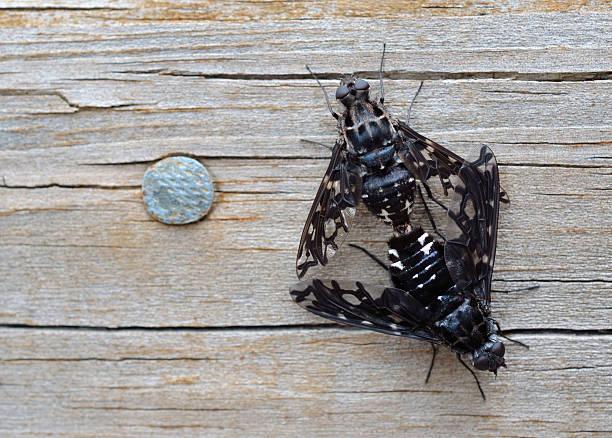 tiger biene fliegt sich paaren, xenox tigrinus - wilde hilde stock-fotos und bilder