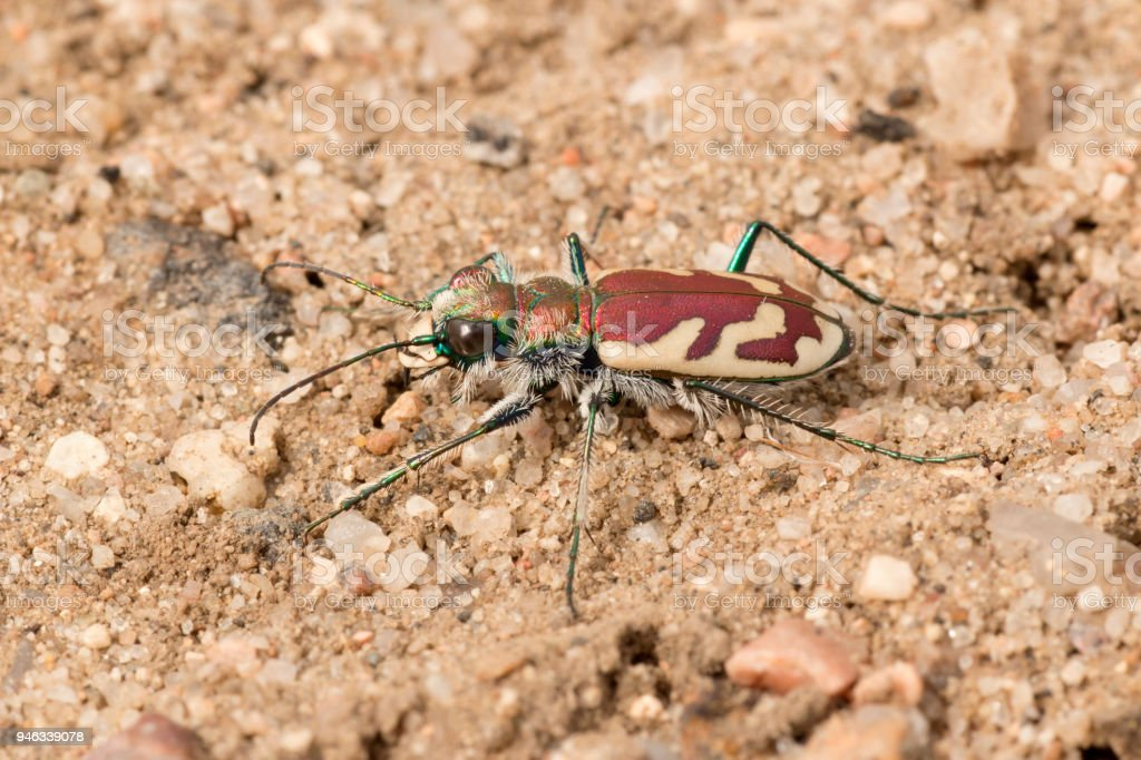 Tiger beetle hunts sands Rocky Mountain Arsenal National Wildlife Refuge Colorado stock photo