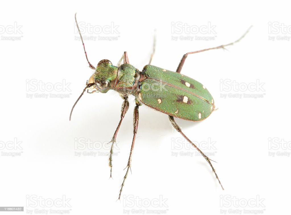 Tiger beetle royalty-free stock photo