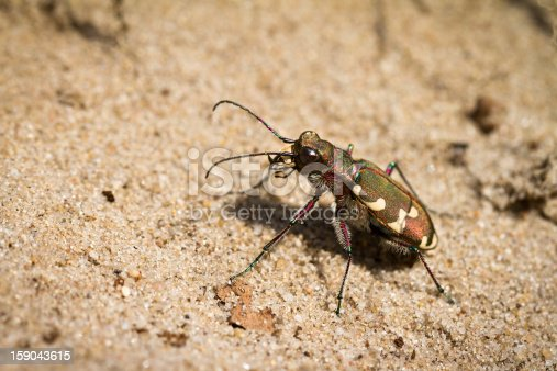 Cicindela hybrida, also known as the northern dune tiger beetle