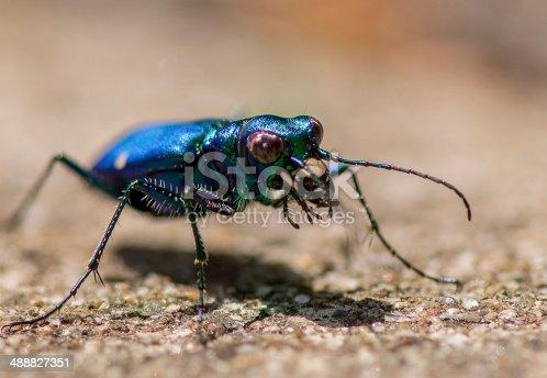 Tiger beetle up close on eye level