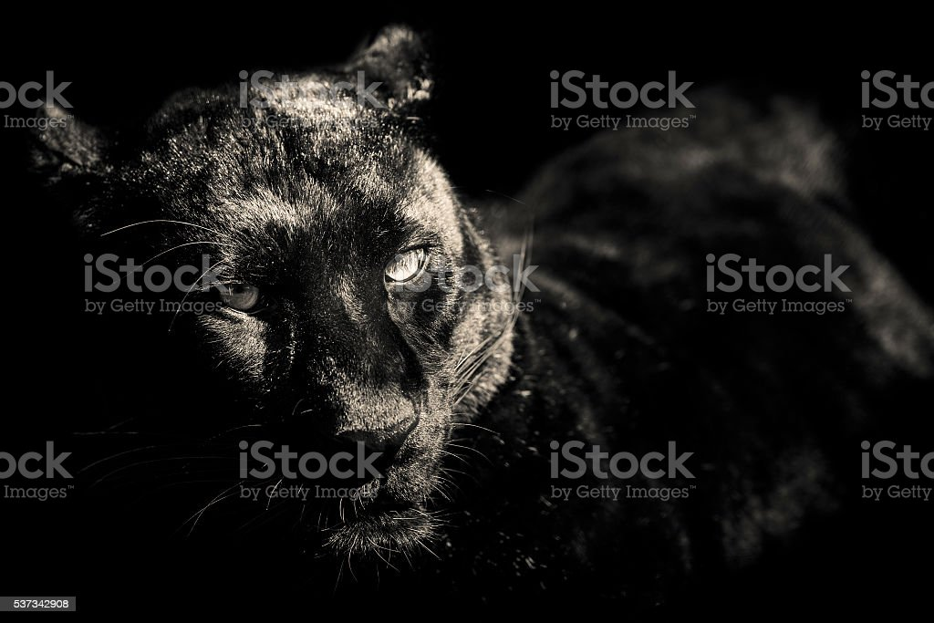tiger black and white portrait stock photo