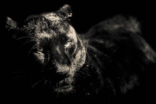 tiger black and white portrait - black leopard stock pictures, royalty-free photos & images
