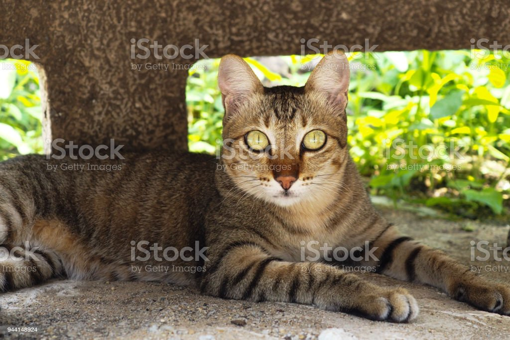 Tiger cat with yellow eye - local Thai animal - abandoned cat stock photo