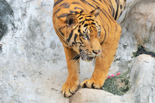 Tiger Climbing Down The Rock Stock Photo - Download Image ...