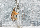 Tiger climbs the tree behind the prey. Hunt the prey on the tree in cold winter. Tiger in wild nature. Action wildlife scene, danger animal. Snowflake with beautiful Siberian tiger in tajga, Russia.