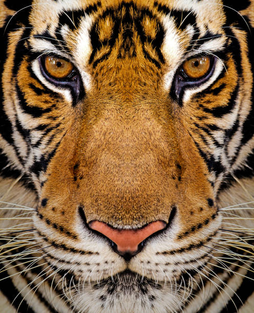 Best Tiger Face Stock Photos, Pictures & Royalty-Free Images