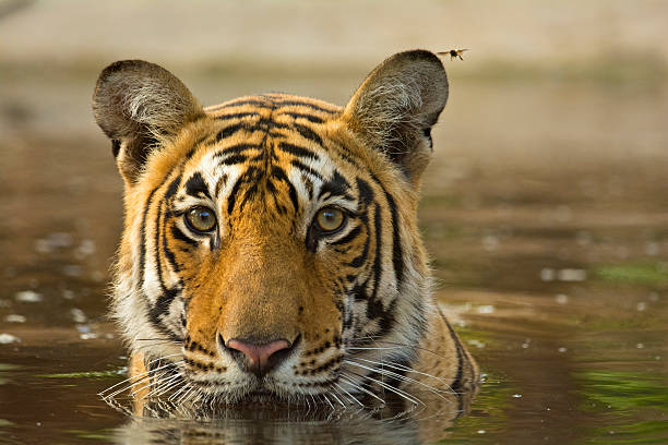 tiger cooling off in a waterhole - bengal tiger stock pictures, royalty-free photos & images