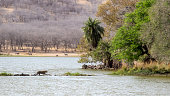In the lake zone at Ranthambore National Park in Rajasthan, India, a pair of tigers have taken up residence on an island with an old palace and a causeway leading from the shore.