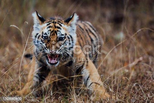 A tiger cub hissing.