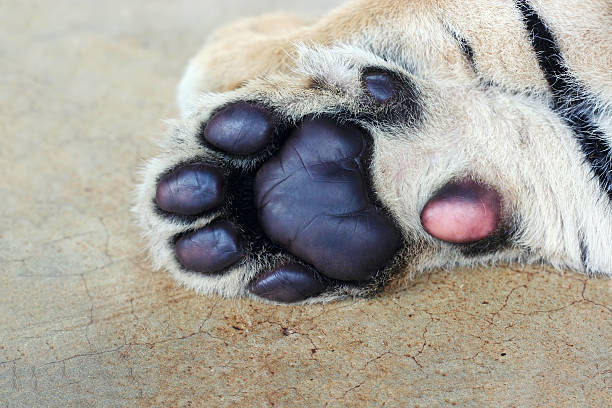 Tiger cub paw. Cute tiger paws close-up. stock photo