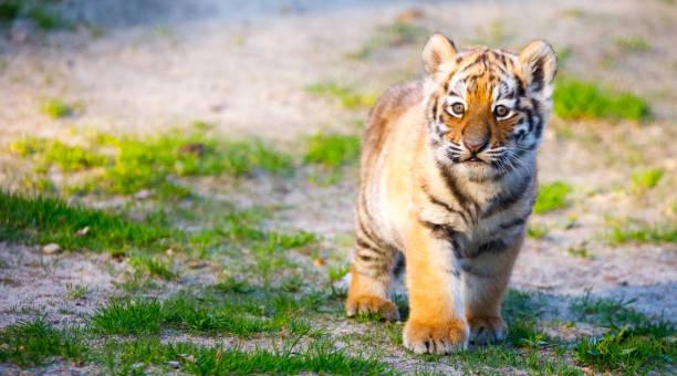 Tiger-Junge – Foto