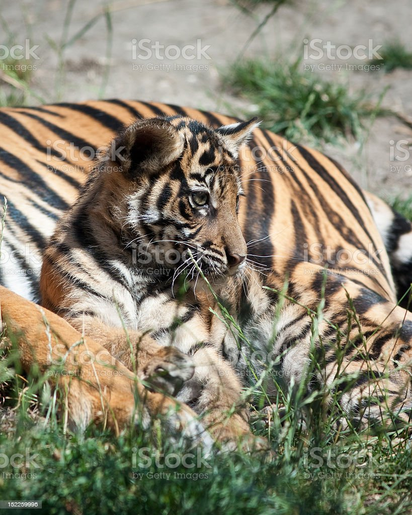 Tiger in captivity in a zoo behind bars. Power and