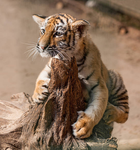 Tiger cub stock photo