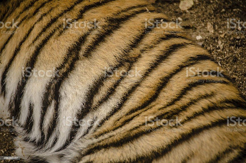 Tiger Cub stock photo
