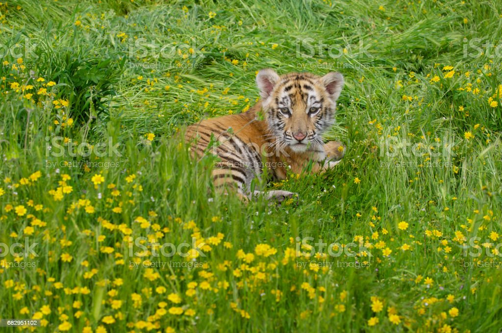 Tiger Cub royalty-free stock photo