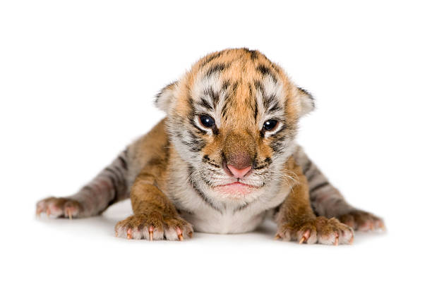 Tiger cub (4 days)  newborn animal stock pictures, royalty-free photos & images