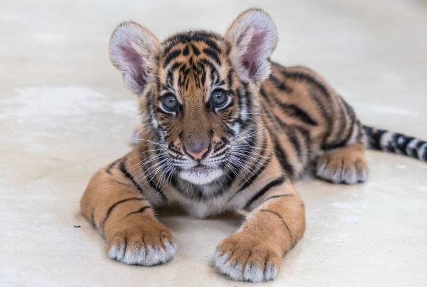 tiger cub – Foto