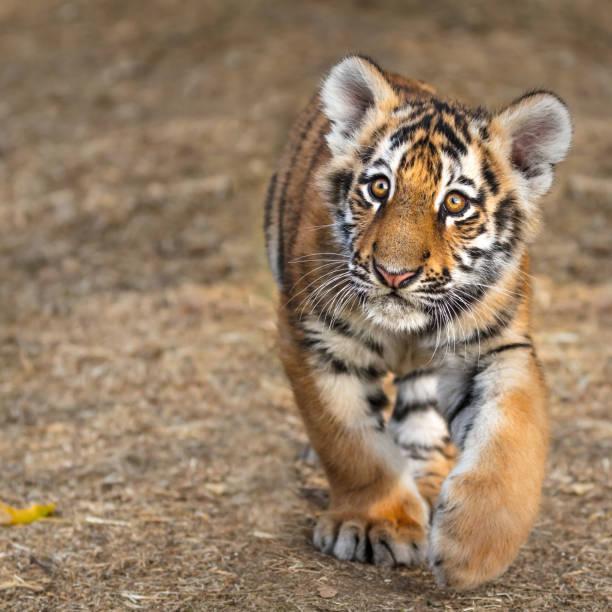 tiger cub portrait. tiger playing around (panthera tigris) - bengal tiger stock pictures, royalty-free photos & images