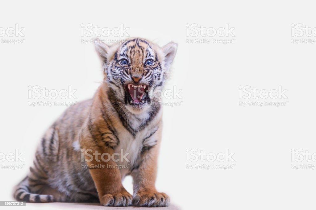 Tiger Cub brüllen auf weißen Hintergrund isoliert – Foto