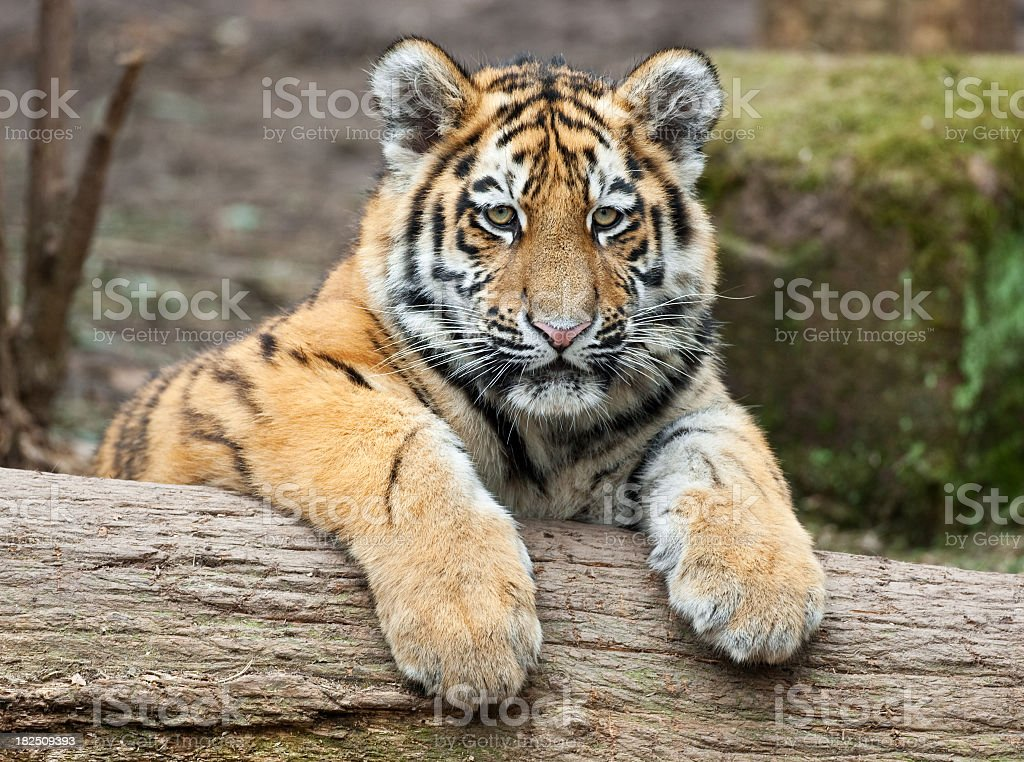 A tiger cub taking a moment to relax on a log royalty-free stock photo