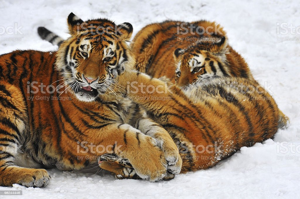 Tiger cubs fighting royalty-free stock photo