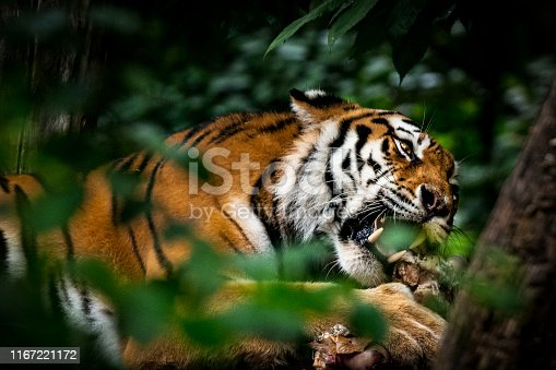 The tiger lying down and eating a prey hidden in a dense vegetation