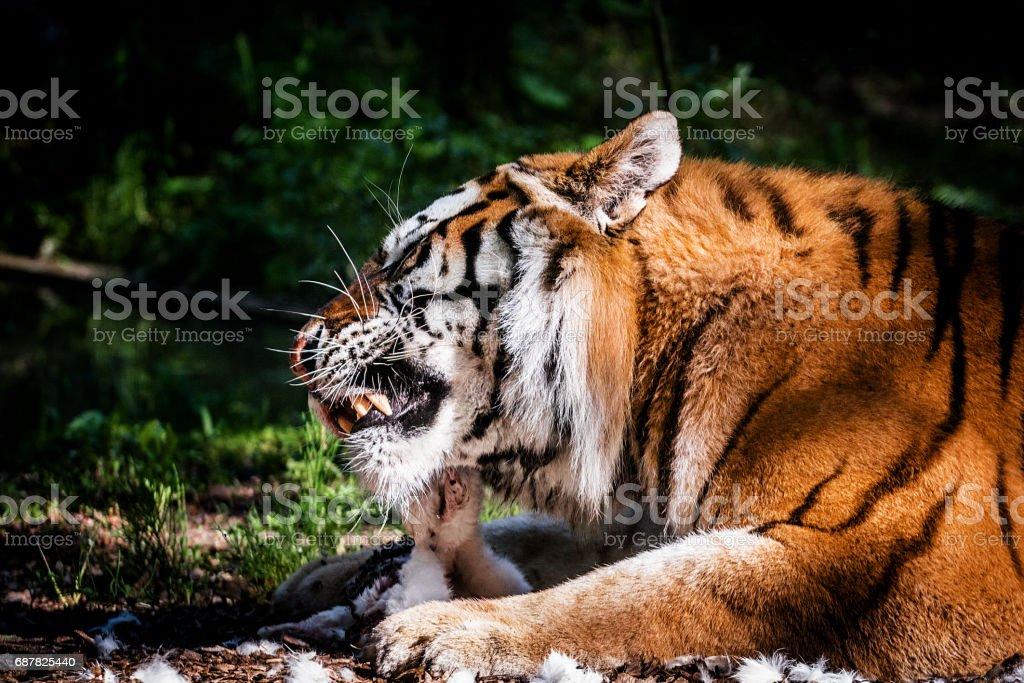 Tiger eating small prey stock photo