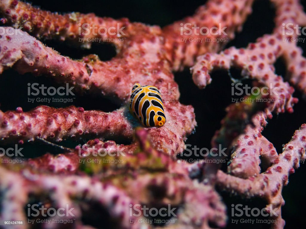 Tiger egg cowrie, Tiger Kaurie-Schnecke (Cuspivolva tigris) stock photo
