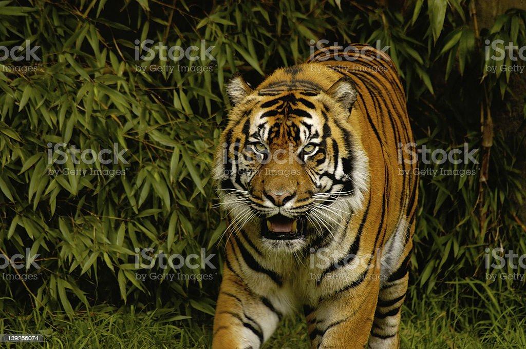 Tiger Eye's royalty-free stock photo