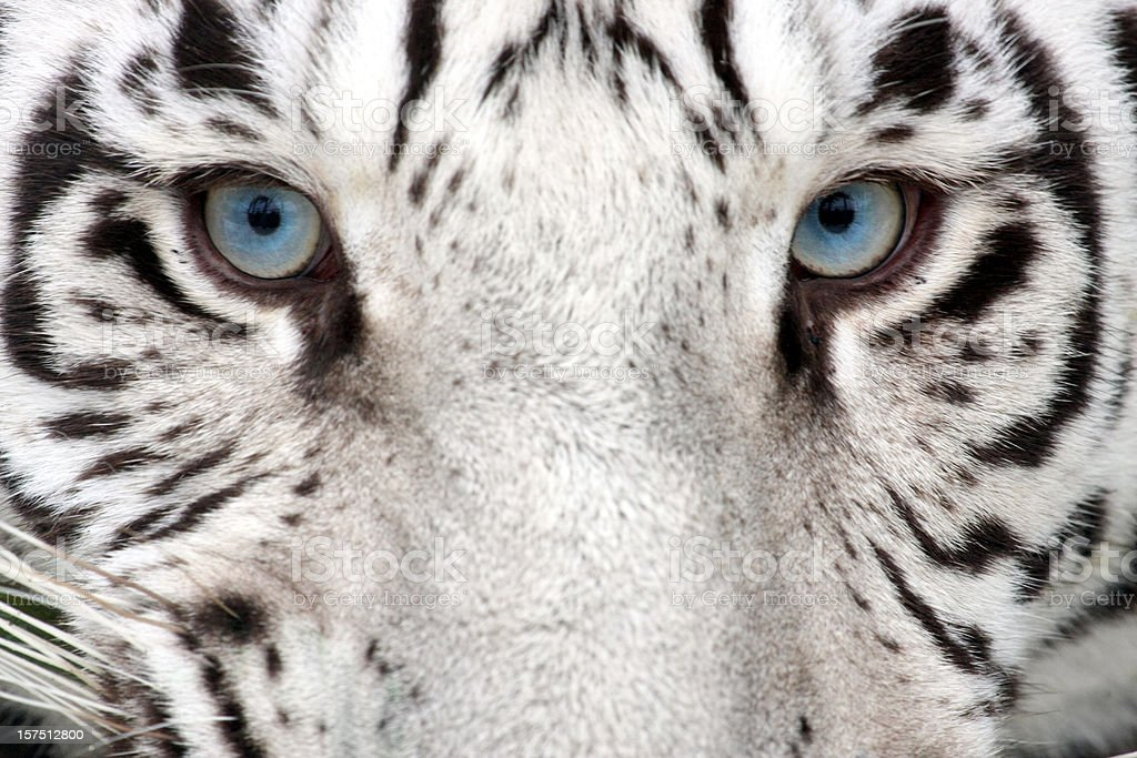 Tiger Eyes stock photo