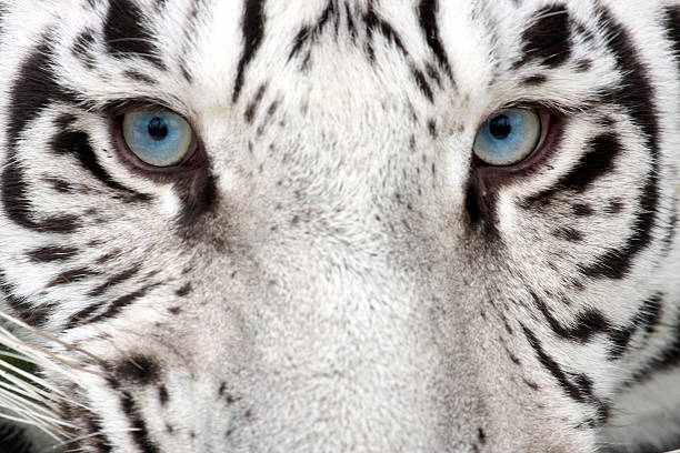 tiger eyes - tiger fur stock photos and pictures