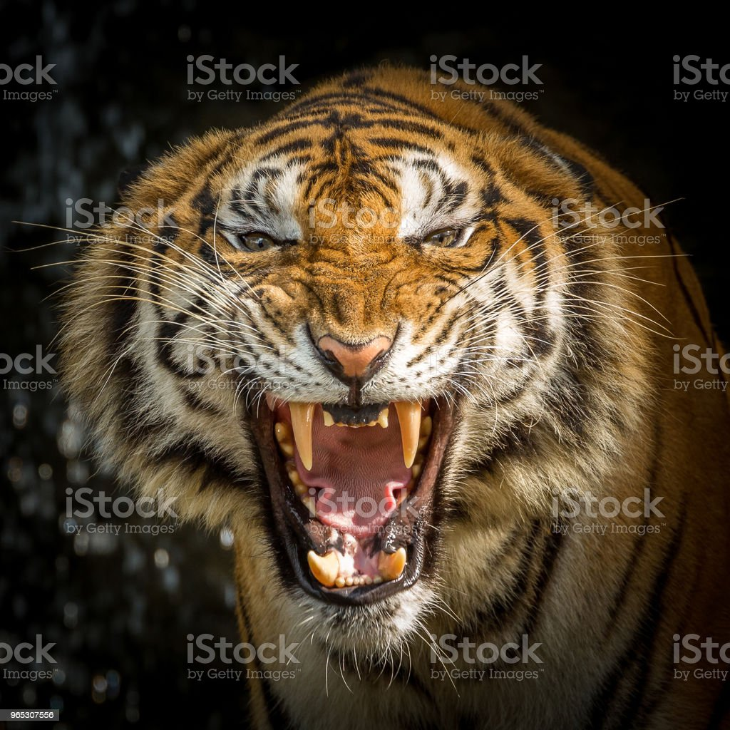 tiger face is roaring. zbiór zdjęć royalty-free