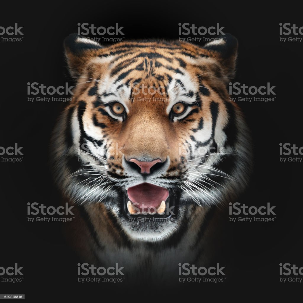 tiger face on black background stock photo & more pictures of