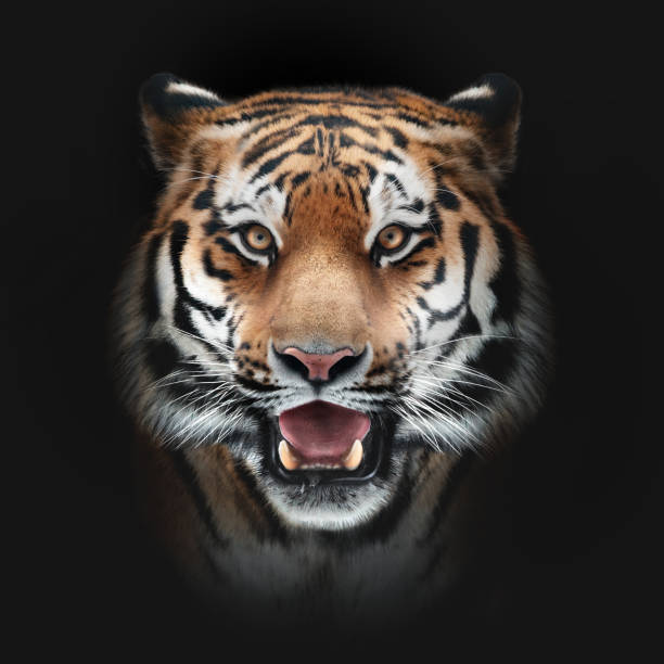 tiger face on black background - tiger stock photos and pictures