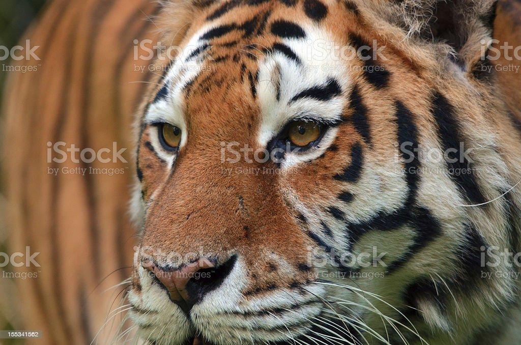 tiger face stock photo