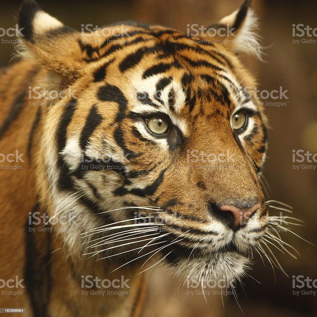Tiger Face royalty-free stock photo