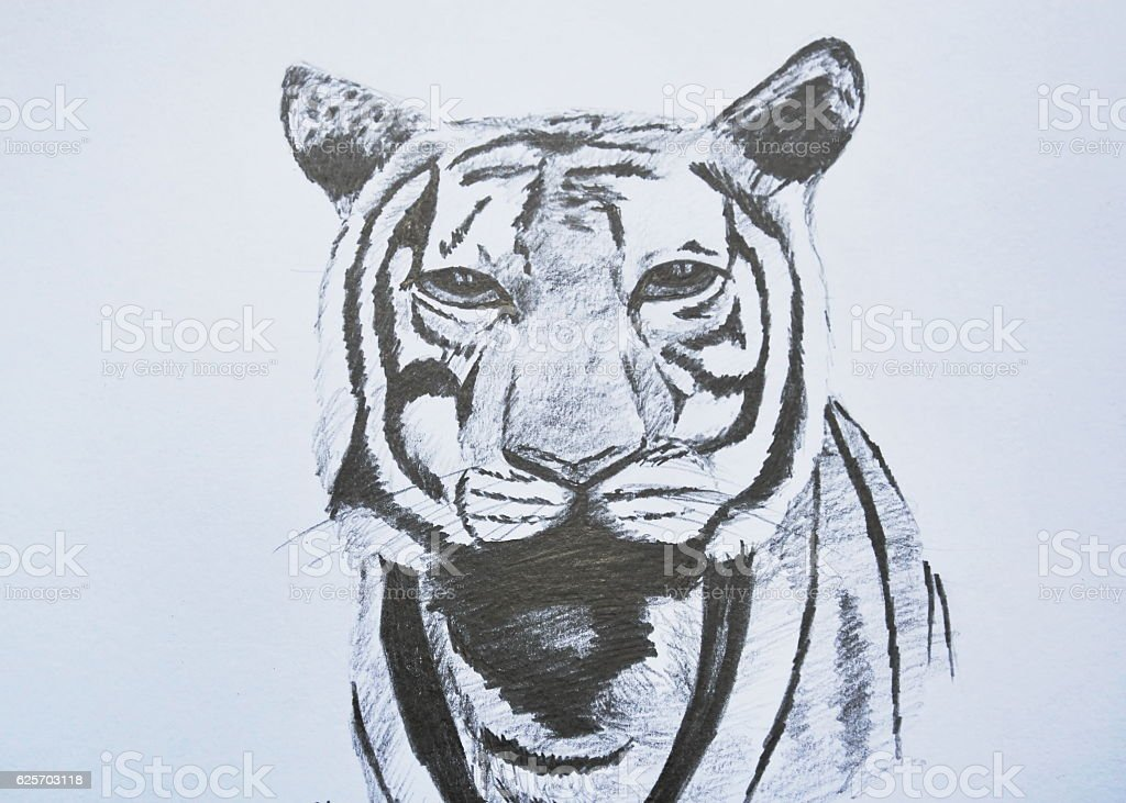 tiger face portrait pencil drawing on paper stock photo