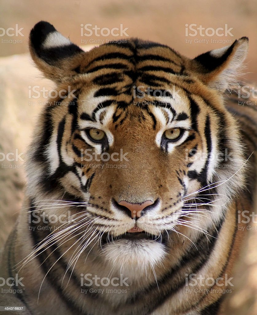 Tiger Face with Mouth Slightly Open royalty-free stock photo