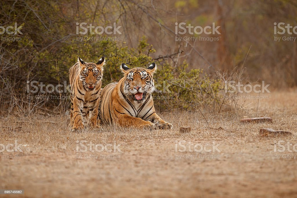 Tiger family together lying on the dry grassland stock photo