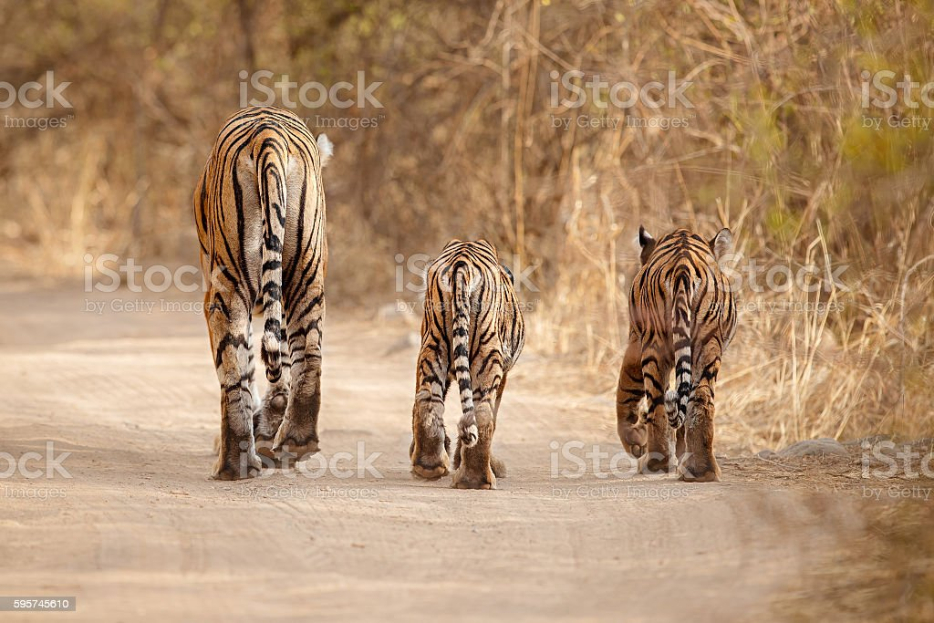 Tiger family together walking on the dry habitat stock photo