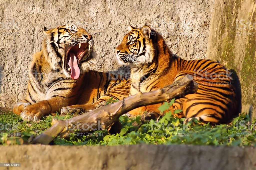 Tiger (Panthera tigris), female and male showing tusks royalty-free stock photo