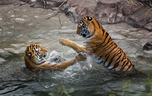 Tiger Fight (Panthera tigris altaica) Motion Blur stock photo
