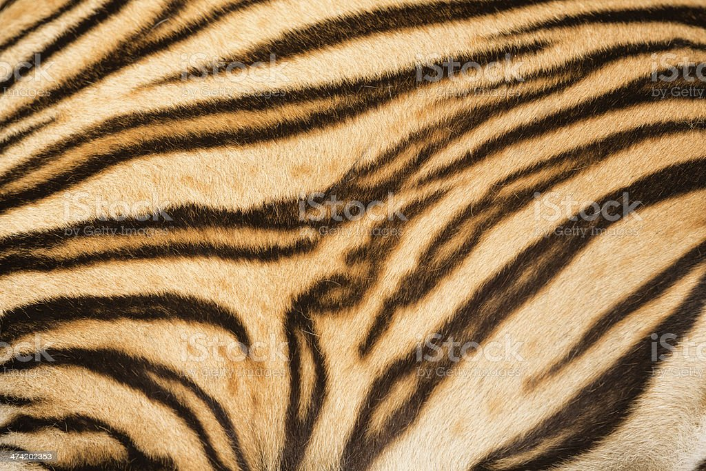 Tiger Fur stock photo