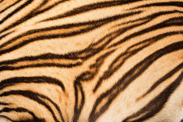 tiger fur - tiger fur stock photos and pictures