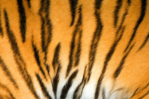Royalty Free Tiger Skin Pictures Images And Stock Photos