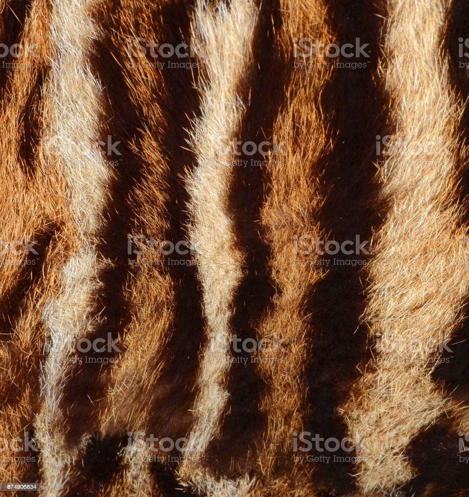 tiger fur texture stock photo