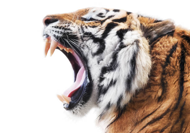 tiger fury - tiger stock photos and pictures